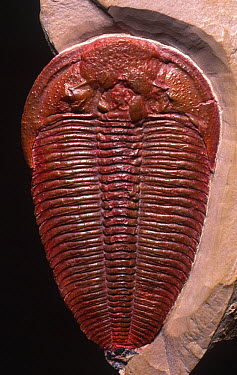 Mid Cambrian Trilobite (Altiocculus harrisi) Upper Wheeler Shale, Harris quarry, Wheeler Ampitheater, House Range, Utah, USA  -  Sinclair Stammers/ npl