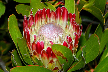 Sugarbush (Protea obtusifolia) flower, DeHoop Nature reserve, Western Cape, South Africa  -  Tony Phelps/ npl