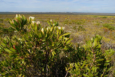 Sugarbush (Protea obtusifolia) in flower, deHoop Nature reserve, Western Cape, South Africa  -  Tony Phelps/ npl