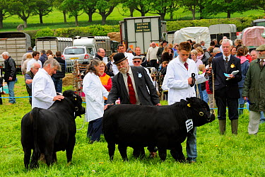 Judge inspecting a bull Dexter (Bos taurus), the smallest British breed of cattle, at North Somerset show, Wraxall, Nr Bristo, UK, May 2009  -  Nick Upton/ npl