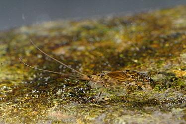 Mayfly (Ecdyonurus venosus) nymph, Cernika Lake, Slovenia  -  Fabio Liverani/ npl