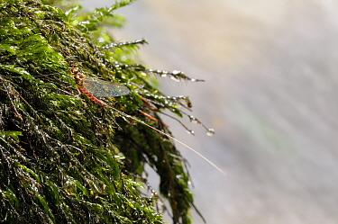Mayfly (Ecdyonurus venosus) on plants, Cernika Lake, Slovenia  -  Fabio Liverani/ npl