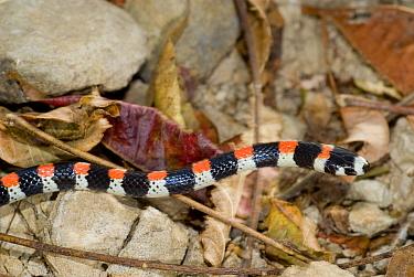 Harlequin snake (Scolephis atrocinctus) Palo Verde National Park, Costa Rica  -  Martin Gabriel/ npl