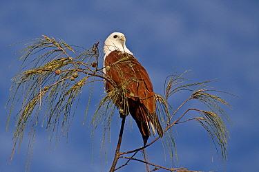 Brahminy Kite (Haliastur indus) perched in Casuarina tree, Burleigh Heads, SE Queensland, Australia, March  -  Rod Williams/ npl
