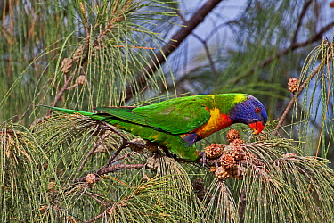 Rainbow Lorikeet (Trichoglossus haematodus moluccanus) feeding in Casuarina tree, Burleigh Heads, SE Queensland, Australia  -  Rod Williams/ npl