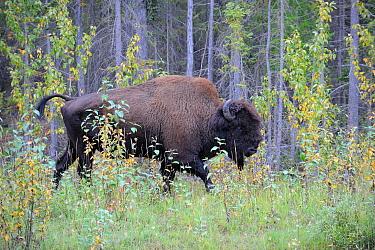 Wood Bison (Bison bison athabascae) walking through high grassland vegetation, Mackenzie River, North West territories, Canada  -  Eric Baccega/ npl