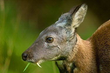 Siberian musk deer (Moschus moschiferus) male with tusks, feeding, captive, Midlothian deer enclosure, UK, vulnerable species  -  Mark Bowler/ npl