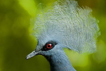 Victoria crowned pigeon (Goura victoria) head portrait, vulnerable species, captive  -  Mark Bowler/ npl
