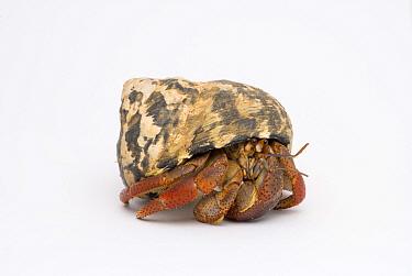 Land hermit crab (Coenobita clypeatus)  -  Mark Bowler/ npl