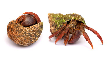 Purple pincher, Purple claw land hermit crab (Coenobita clypeatus) a tropical rainforest land crab from the Caribbean Sequence showing crab emerging from shell Digital composite  -  Mark Bowler/ npl