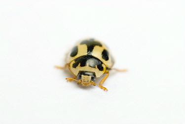 Fourteen spot ladybird (Propylea 14-punctata)  -  Mark Bowler/ npl