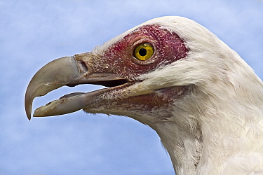 Palm Nut Vulture (Gypohierax angolensis) head portrait, captive, from Africa  -  Rod Williams/ npl