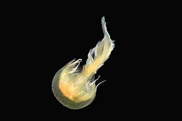 Medusa caught with 1m ring net between 0 and 150m, Mid-Atlantic Ridge, North Atlantic Ocean  -  David Shale/ npl