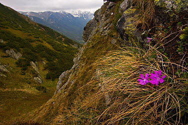 Least primrose (Primula minima) flowers growing on steep slope, Western Tatras, Carpathian Mountains, Slovakia, June 2009  -  WWE/ D'amicis/ npl