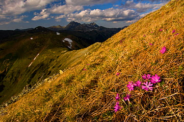 Least primroses (Primula minima) flowering on slope, Liptovske kopi, Western Tatras, Carpathian Mountains, Slovakia, June 2009  -  WWE/ D'amicis/ npl
