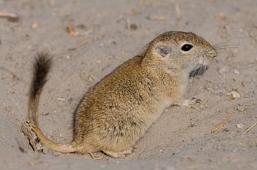 Indian desert gerbil (Meriones hurrianae) Rajasthan, India  -  Bernard Castelein/ npl