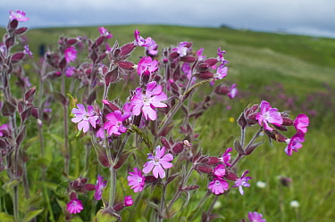 Red Campion (Silene dioica) in flower, Yell, Shetland Isles, Scotland, UK  -  David Tipling/ npl
