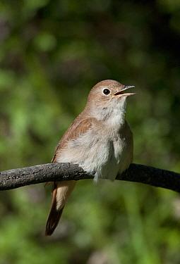 Male Nightingale (Luscinia megarhychos) singing, Castelo Branco, Portugal  -  Roger Powell/ npl
