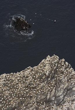 Northern gannet (Morus bassanus) colony on cliff, Hermaness, Shetland Isles, Scotland, July 2009  -  WWE/ Green/ npl
