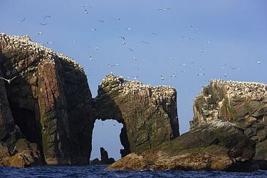 Northern gannet (Morus bassanus) colony, The Flannans, Outer Hebrides, Scotland, July 2009  -  WWE/ Green/ npl