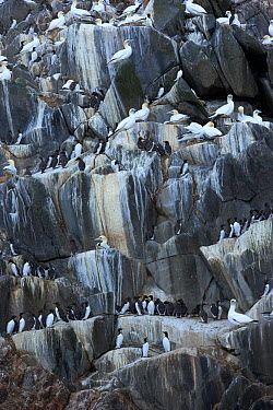 Northern gannets (Morus bassanus) and Common guillemots (Uria aalge) on rock face, The Flannans, Outer Hebrides, Scotland, July 2009  -  WWE/ Green/ npl