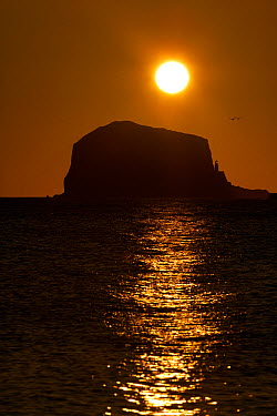 Northern gannet (Morus bassanus) colony in flight over Bass Rock at sunrise, Firth of Forth, Scotland, August 2009  -  WWE/ Green/ npl