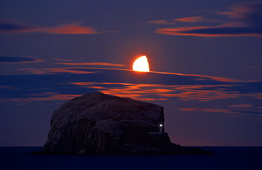 Northern gannet (Morus bassanus) colony, Bass Rock with the moon rising, Firth of Forth, Scotland, August 2009  -  WWE/ Green/ npl