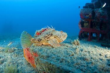 Red scorpionfish (Scorpaena scrofa) lying on the artificial reef, Larvotto Marine Reserve, Monaco, Mediterranean Sea, July 2009  -  WWE/ Banfi/ npl