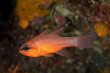 Cardinalfish (Apogon imberbis) Larvotto Marine Reserve, Monaco, Mediterranean Sea, July 2009  -  WWE/ Banfi/ npl