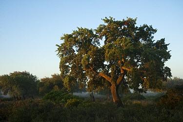 Cork trees (Quercus suber) and Wild olive (Olea europaea var, sylvestris) with a rich abundance of natural underbush made up of Mastic (Pistacia lentiscus) Fillirea (Phyllirea angustifolia) Strawberry...  -  WWE/ Oxford/ npl