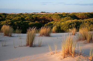 Sand dunes encroaching on Pine trees (Pinus sp) with Marram grass (Ammophila arenaria) growing on dunes, Do�ana National and Natural Park, Huelva Province, Andalusia, Spain, May 2009  -  WWE/ Oxford/ npl