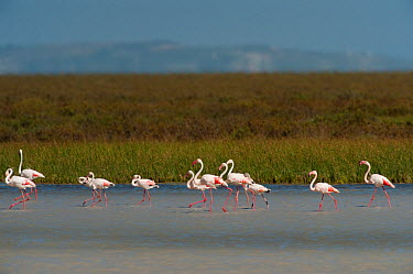 Greater flamingos (Phoenicopterus ruber) in lagoon, Do�ana National and Natural Park, Huelva Province, Andalusia, Spain, May 2009  -  WWE/ Oxford/ npl