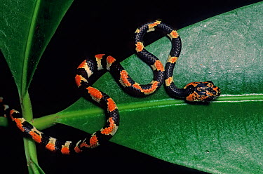 Slender snail sucker snake (Sibon dimidiata) on rainforest leaf, Misol Ha cascade, Lacandon Rainforest, Mexico, December  -  Claudio Contreras/ npl