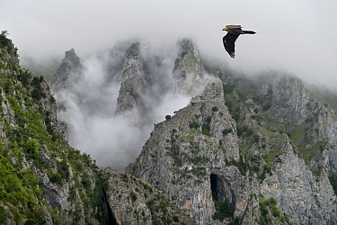 Lammergeier (Gypaetus barbatus) flying over the Pyrenees mountains, Aragon, Spain  -  Angelo Gandolfi/ npl