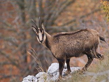 Pyrenean chamois (Rupicapra pyrenaica) in autumn Abruzzo National Park, Italy  -  Angelo Gandolfi/ npl