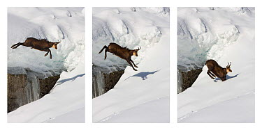 Chamois (Rupicapra rupicapra) jumping over crevasse in the snow, Abruzzo National Park, Italy  -  Angelo Gandolfi/ npl
