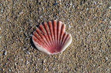 Scallop shell (Argopecten sp) or Shell of St James, the traditional emblem of the Way of St James or Camino de Santiago, Galicia, Spain  -  Angelo Gandolfi/ npl