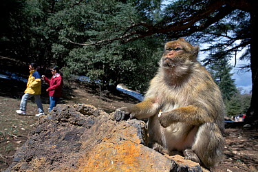 Tourists walking past Barbary ape (Macaca sylvanus) Ifrane Nature Reserve, Middle Atlas Mountains, Morocco March 2007  -  Angelo Gandolfi/ npl