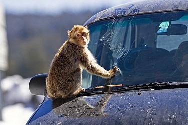 Barbary ape (Macaca sylvanus) playing on car bonnet, smearing windscreen with mud Ifrane Nature Reserve, Middle Atlas, Morocco  -  Angelo Gandolfi/ npl