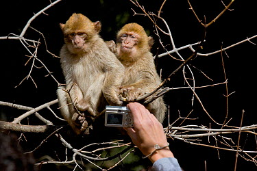 Person taking a photograph of two Barbary apes (Macaca sylvanus), Ifrane Nature Reserve, Middle Atlas Mountains, Morocco  -  Angelo Gandolfi/ npl