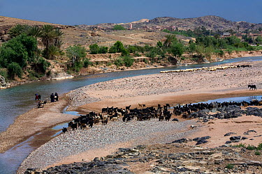 Goat and sheep flocks on the banks of the Oued Dades river, Dades Valley, Morocco March 2007  -  Angelo Gandolfi/ npl