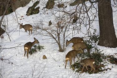 Roe deer (Capreolus capreolus) group winter feeding on Holly (Ilex aquifolium) Piemonte, Italy  -  Angelo Gandolfi/ npl