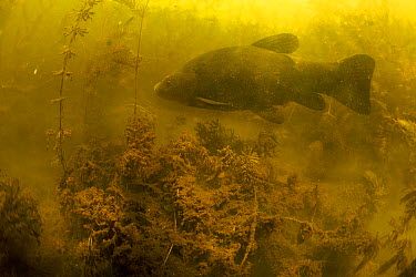 Tench (Tinca tinca) in peat pond, Fribourg, Switzerland, May 2009  -  WWE/ Roggo/ npl