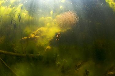 Alpine newt (Triturus alpestris) chasing a ball of Water fleas in a gravel pit pool, Fribourg, Switzerland, June 2009  -  WWE/ Roggo/ npl