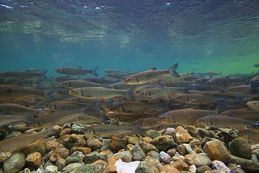 Chub (Squalius, Leuciscus cephalus) on spawning ground, Sava river, Slovenia, June 2009  -  WWE/ Roggo/ npl
