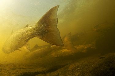 Atlantic salmon (Salmo salar) migrating upstream to spawn, Ume?lven, Sweden, July 2009  -  WWE/ Roggo/ npl