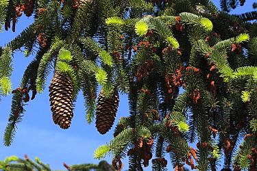 Norway spruce tree (Picea abies) cones, Spain  -  Juan Manuel Borrero/ npl