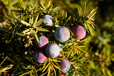Prickly juniper (Juniperus oxycedrus) fruits, Spain  -  Juan Manuel Borrero/ npl