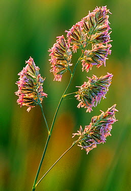 Cock's Foot, Orchard Grass (Dactylis glomerata)  -  Laurie Campbell/ npl