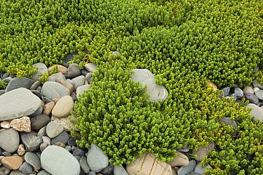Sea sandwort (Honckenya peploides) Annalong Coastal Path, County Down, Northern Ireland, UK, August  -  Robert Thompson/ npl